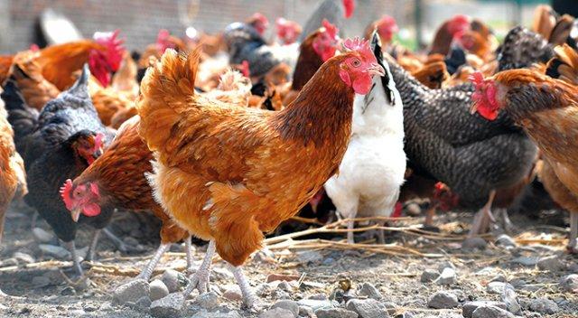 Çayyolu Organik Tavuk Yumurta